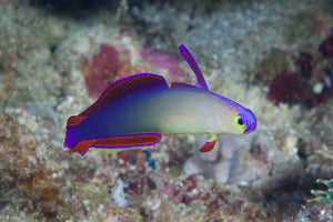 Purple Dartfish for Sale