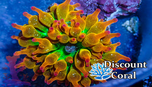 Rainbow Bubble Tip Anemone for Sale