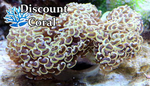 Euphyllia Hammer Coral for Sale