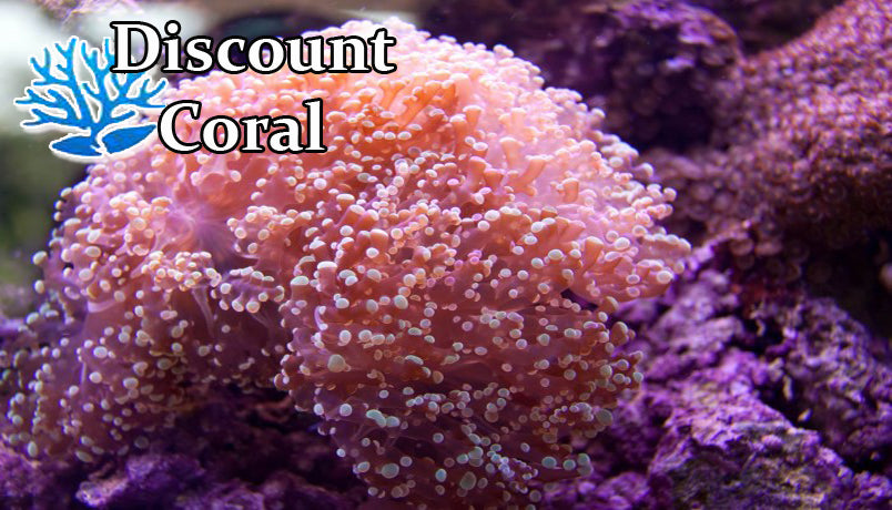 Euphyllia FrogSpawn Coral for Sale