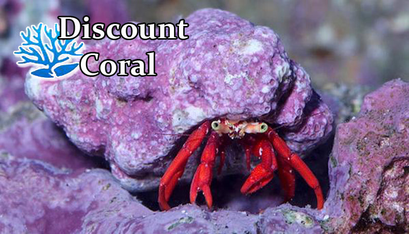 Scarlet Red Hermit Crabs for Sale