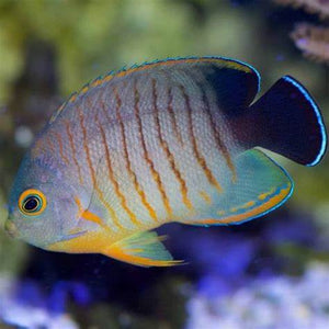 Eibli Angelfish for Sale