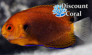 Fisher's Angelfish