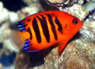 Flame Angelfish for Sale