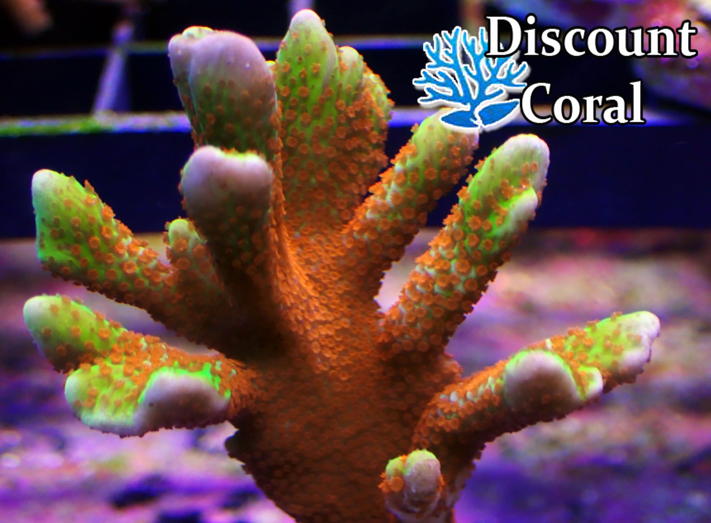 Forest Fire Digitata Coral Frags