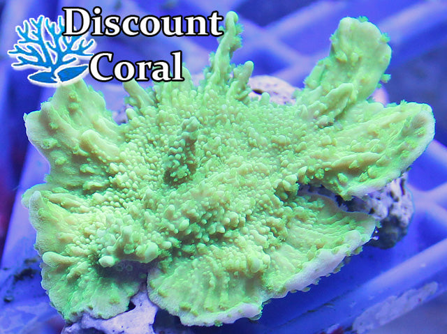 Green Montipora Capricornis Frags