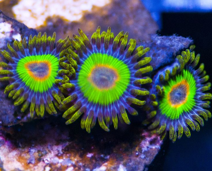 Rasta Zoanthid Coral Frags