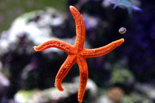 Orange Linckia Starfish for Sale