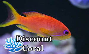 Orange Anthias Fish