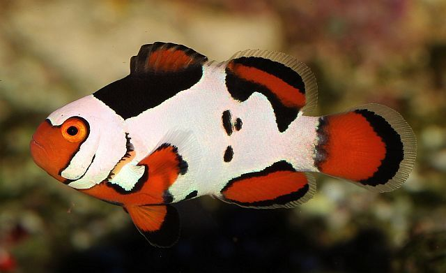Picasso Clownfish For Sale