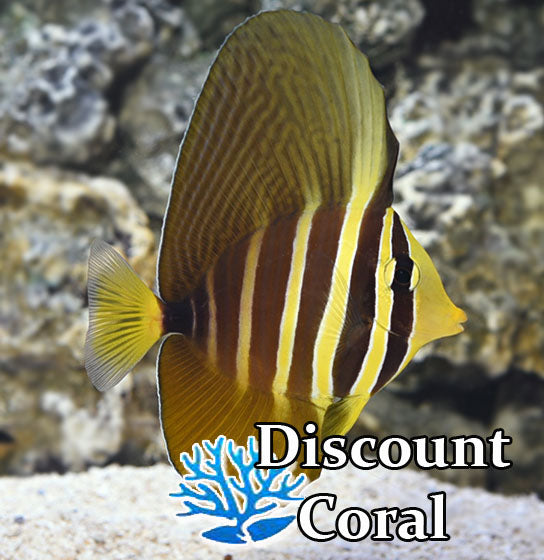 Sailfin Tang Fish for Sale