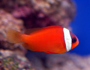 Tomato Clownfish for Sale