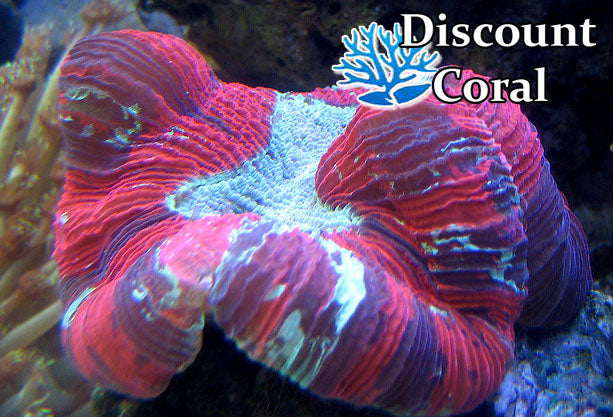Trachyphyllia Indo Splater Brain Coral