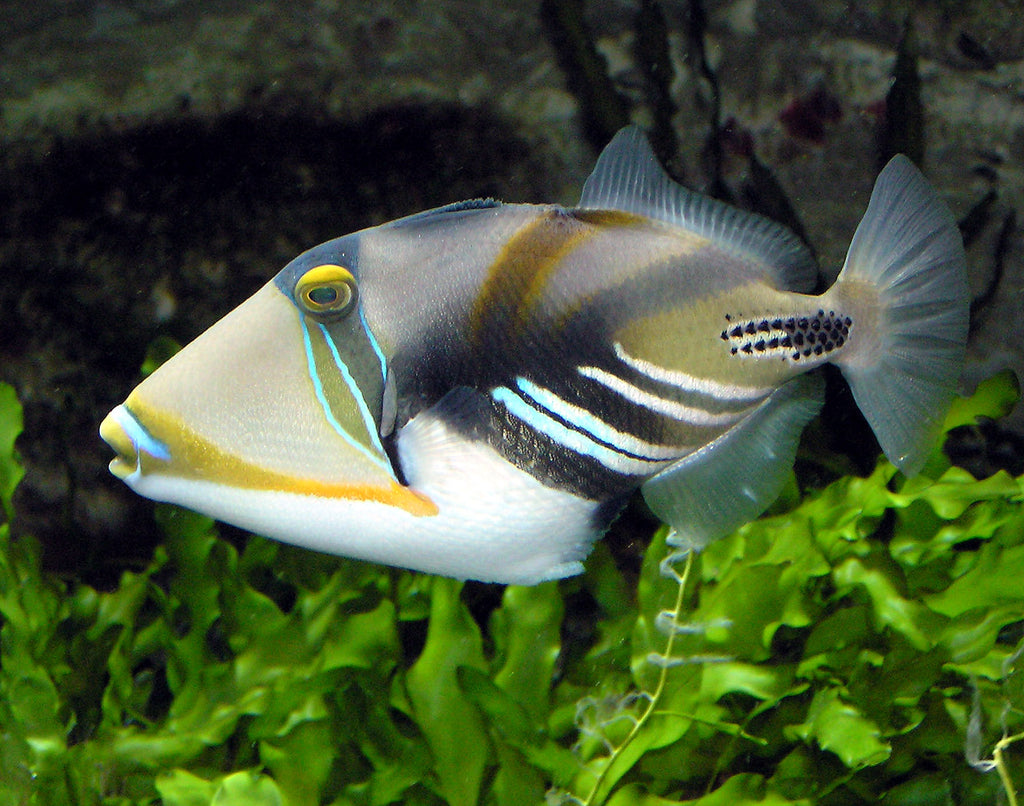 Huma Huma Triggerfish for Sale