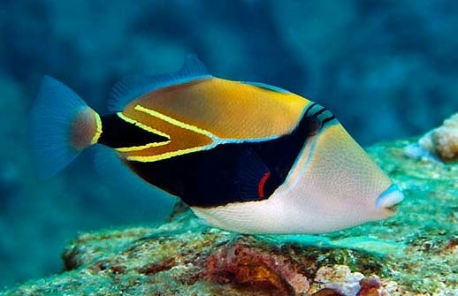 wedge tailed triggerfish for sale