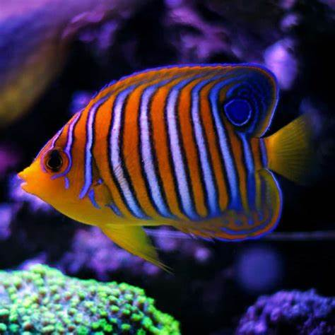 Royal Angel Fish For Sale