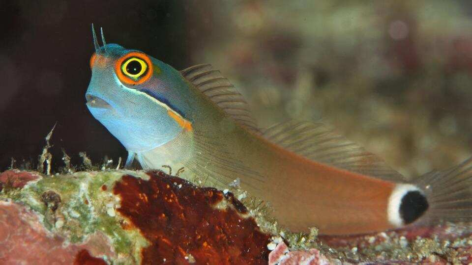 Tail Spot Blenny for Sale
