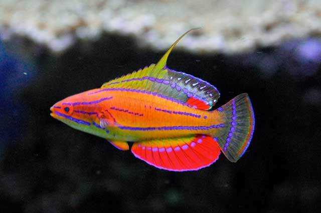Carpenter Flasher Wrasses Fish for Sale