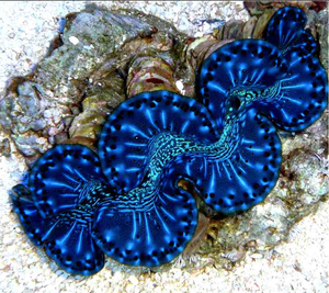 Blue Maxima Clams for Sale