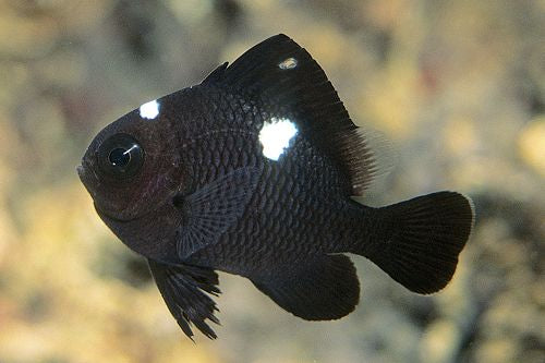 Domino Damsel Fish for Sale
