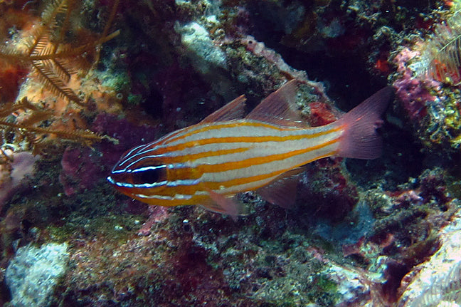 Gold Striped Cardinal Fish for Sale