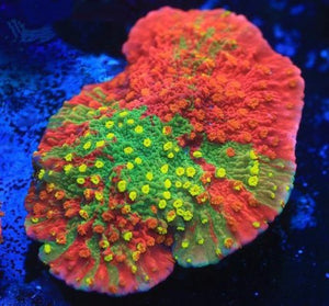 Grafted Sunfire Montipora Frags