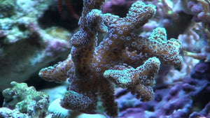 Green Birdsnest Coral Frag for Sale