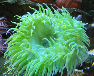 Metallic Green Sea Anemone for Sale