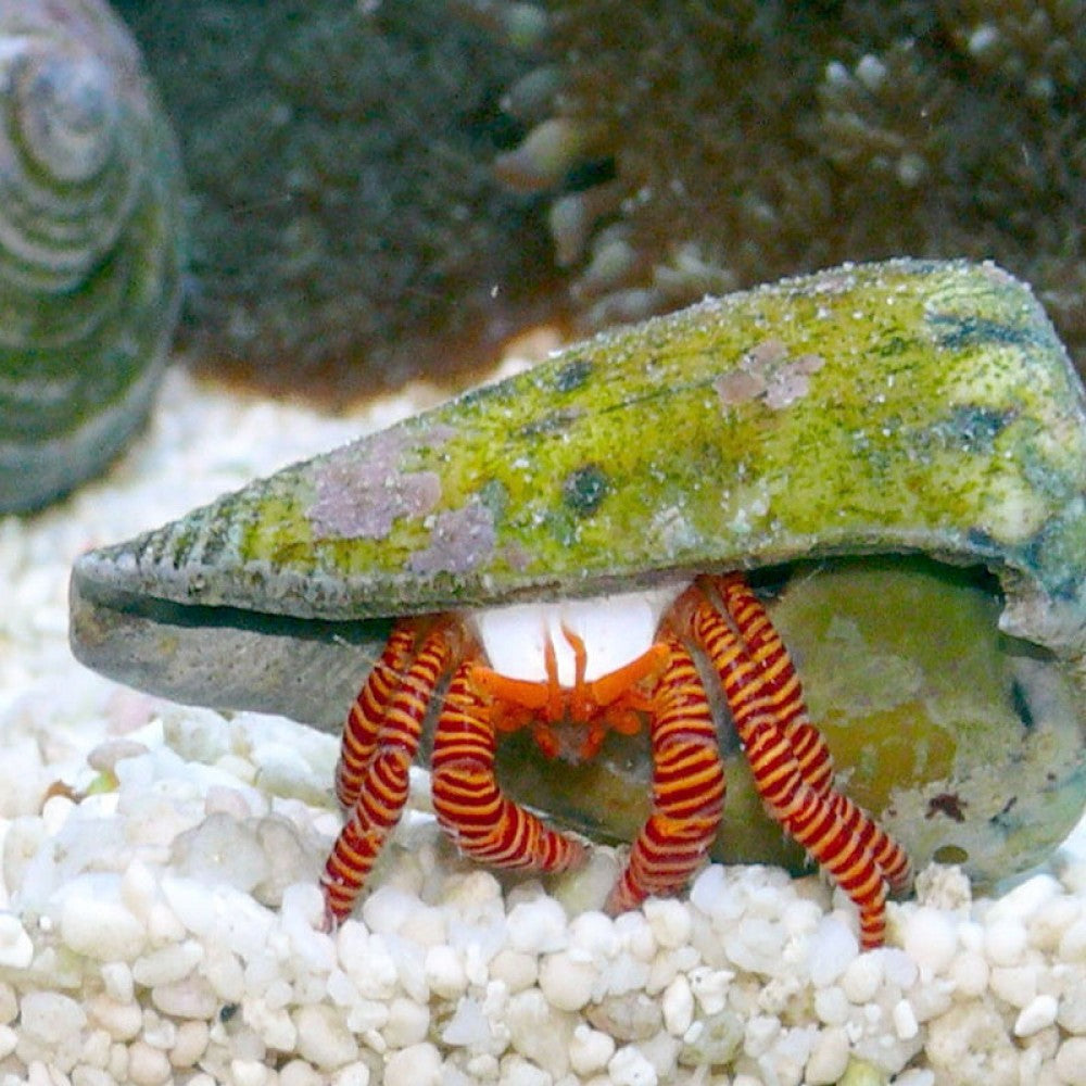 Halloween Hermit Crabs for Sale