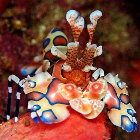 Harlequin Shrimp for Sale