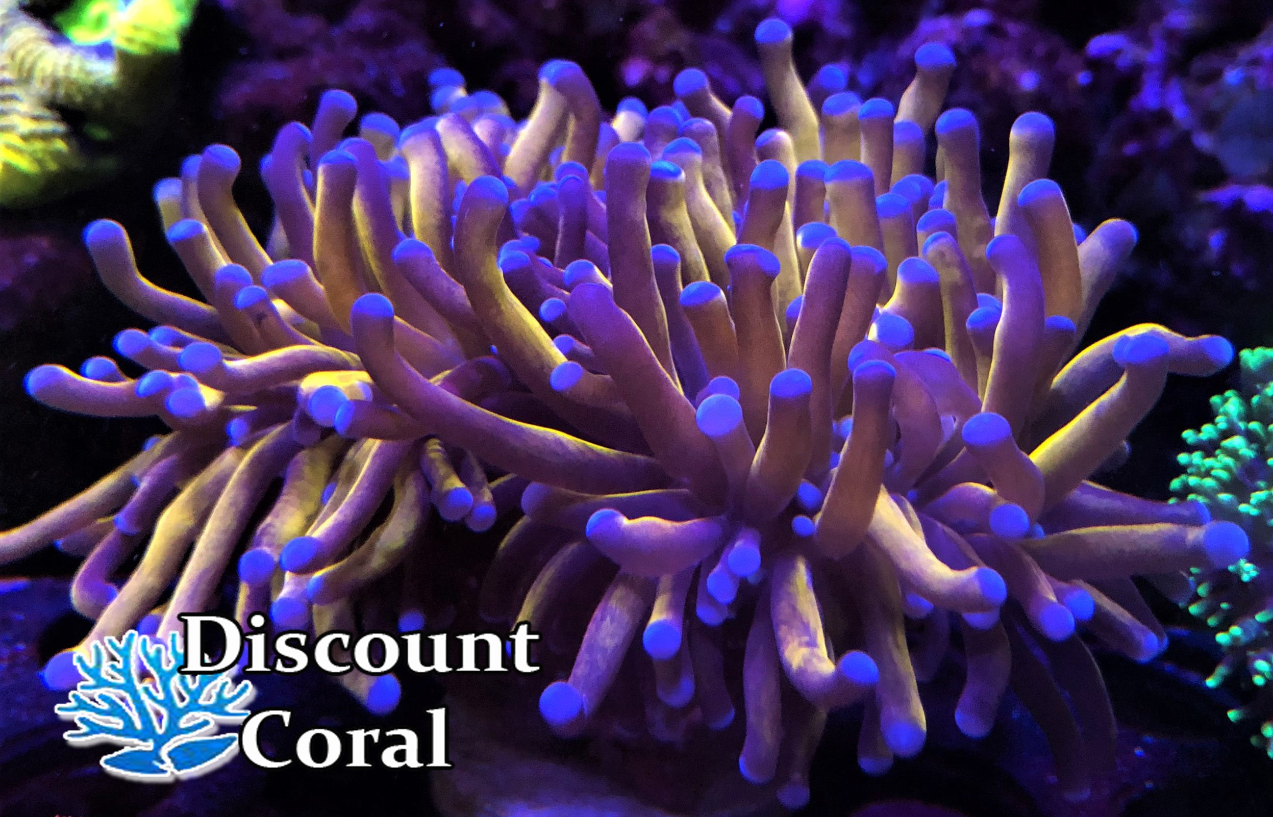 Gold Torch Coral Frags