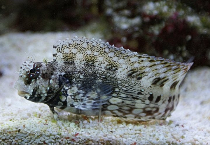 Lawnmower Blenny for Sale