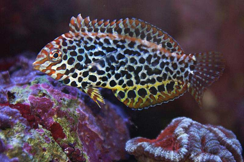 Leopard Wrasse Fish for Sale