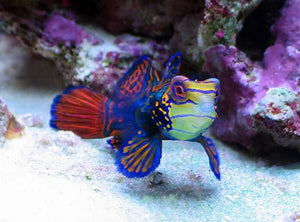 mandarin goby for sale
