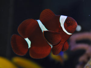 maroon clownfish for Sale