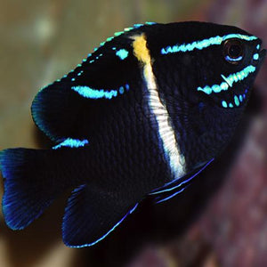 Neon Velvet Damsel Fish for Sale