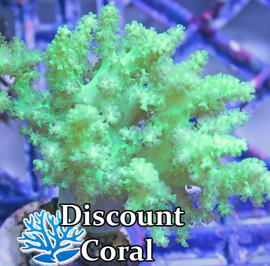 Neon Green Nephthea Tree Coral