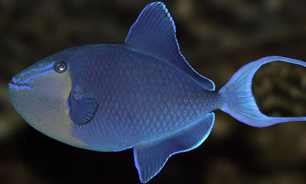 Niger Triggerfish for Sale