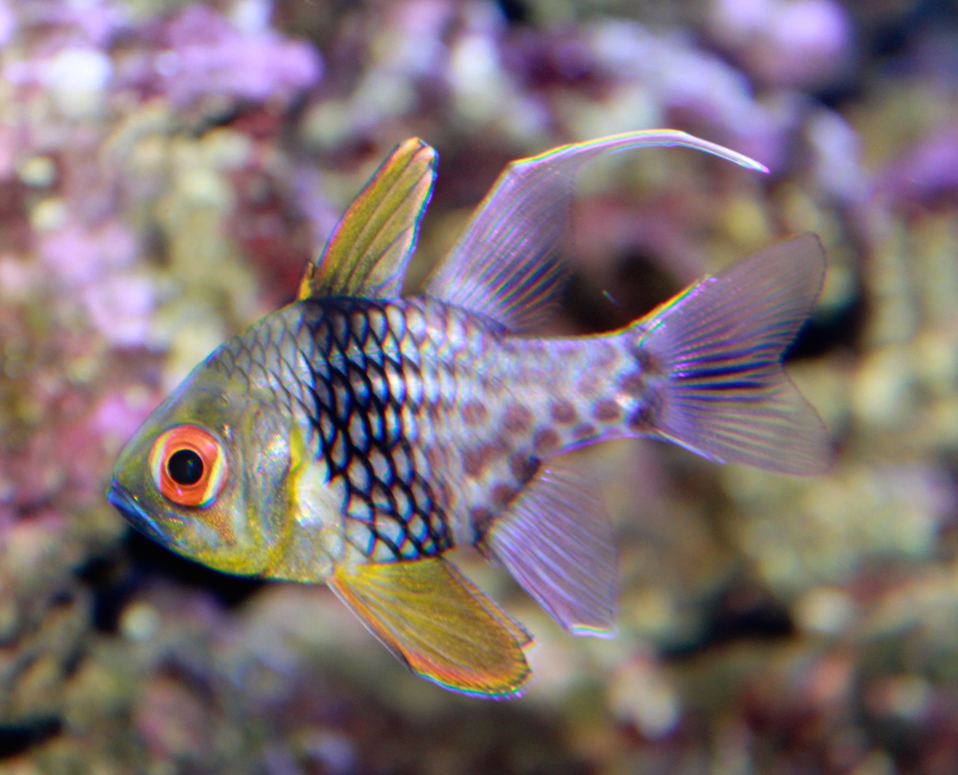Pajama Cardinal Fish for Sale