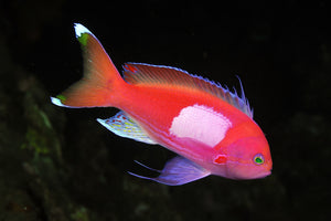 Pink Squareback Anthias Fish for Sale