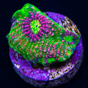 Pink Watermelon Chalice Frag for Sale
