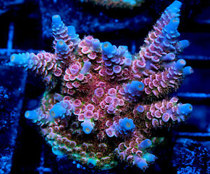 Pretty in Pink Acropora Coral Frag for Sale