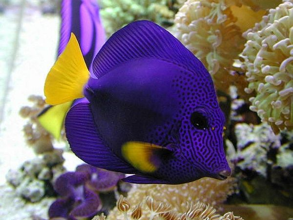 Yellowtail Purple Tang for Sale