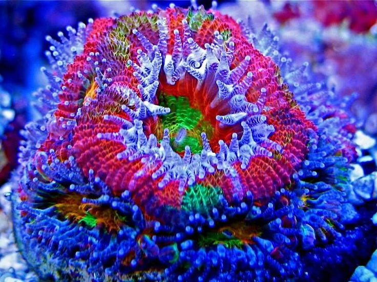 Rainbow Acan Lord Frag