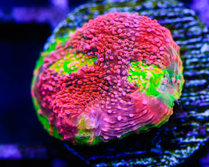 Rainbow Brite Chalice Frag for Sale