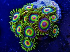 Rasta Zoa Coral Frags for Sale