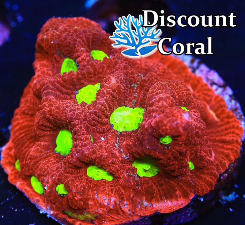 Red and Green War Coral