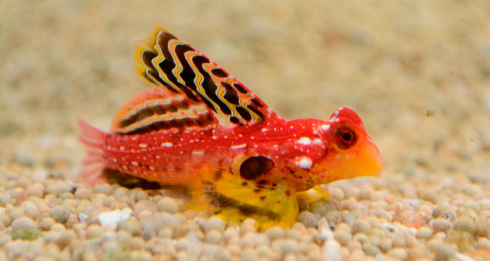 Red Dragonet Blenny