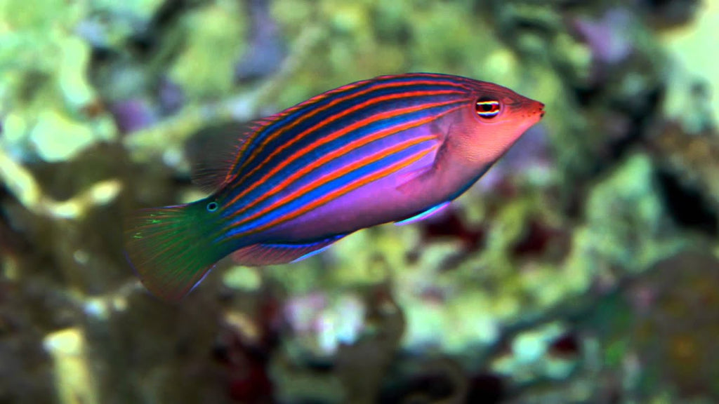 Six Line Wrasse for Sale