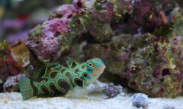 Spotted Mandarin Goby for Sale